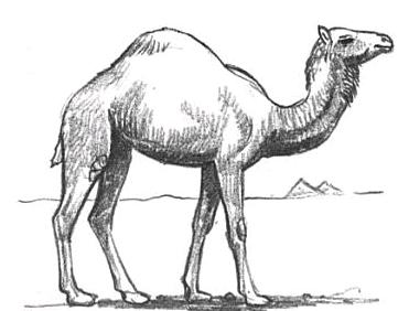 howto-draw-camels-tutorials_html_m411c7e01